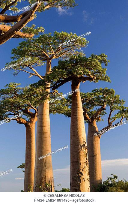 Madagascar, Menabe-Antimena protected area, Baobab Alley, Grandidier's Baobabs (Adansonia grandidieri)