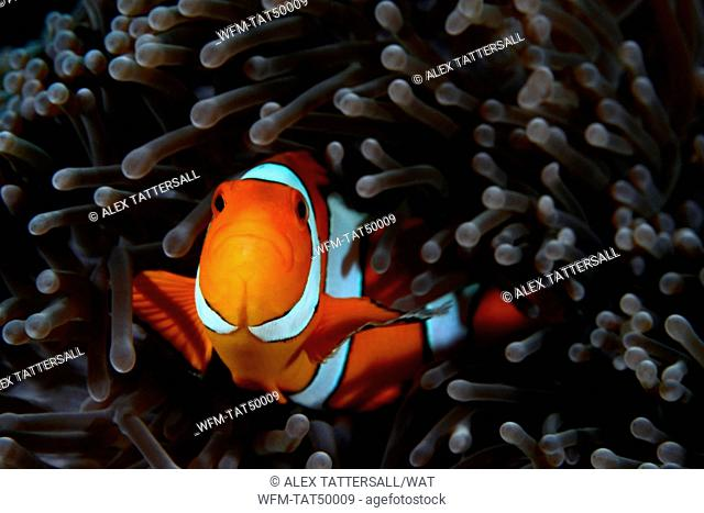 Clown Anemonefish, Amphiprion ocellaris, Similan Islands, Thailand