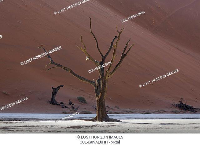 Dead tree in front of sand dune, Deaddvlei, Sossusvlei National Park, Namibia
