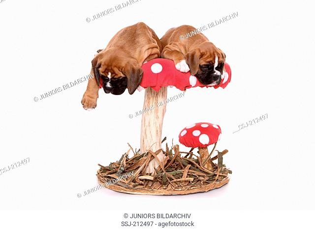 German Boxer. Two puppies (6 weeks old) sleeping on a big Fly Agaric. Studio picture against a white background. Germany