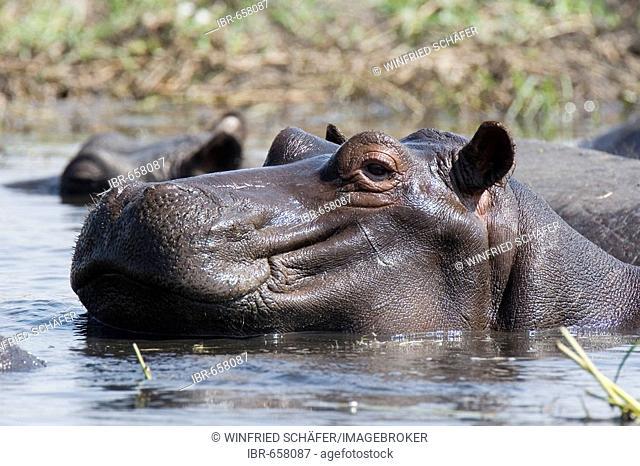 Hippopotamus (Hippopotamus amphibius), Chobe National Park, Botswana, Africa