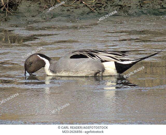 A northern pintail duck, Anas acuta, searches for food beneath the surface of a marsh, New Jersey, USA
