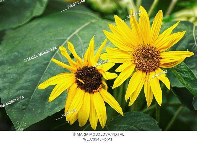 Sunflower Pair. Helianthus annuus. June 2007, Maryland, USA