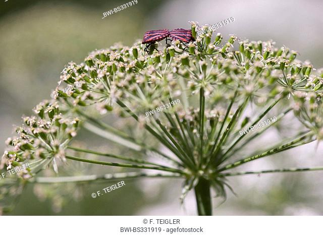 Laserwort (Laserpitium siler), inflorescence with, Graphosoma lineatum, Switzerland