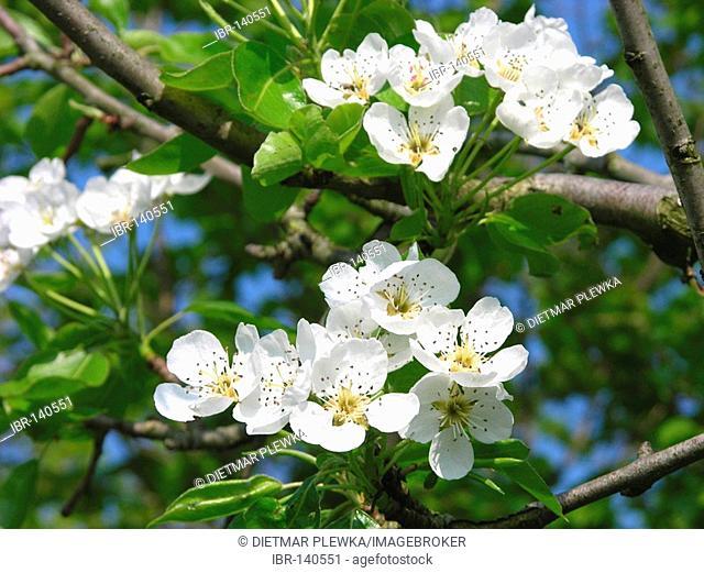 Cherrytree, prunus avium, blooming