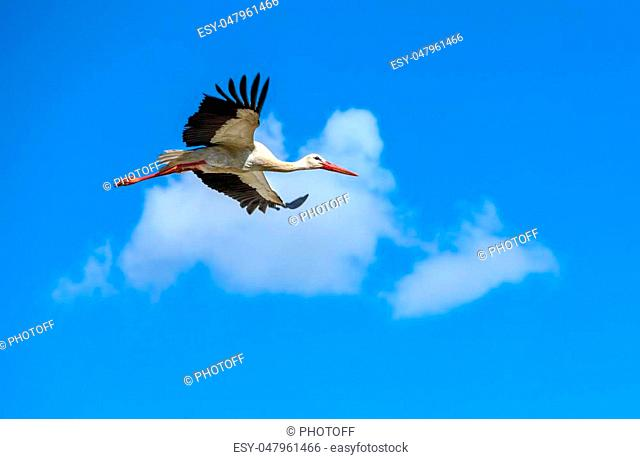Flying stork on a background of white clouds and blue sky summer day