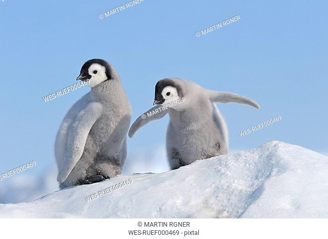 Antarctica, Antarctic Peninsula, Emperor penguin chicks on snow hill island