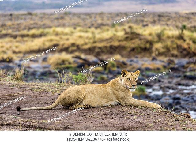 Kenya, Masai-Mara Game Reserve, lion (Panthera leo), female on the banks of the Mara river