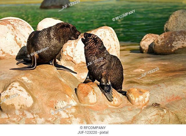 two south african fur seals / Arctocephalus pusillus