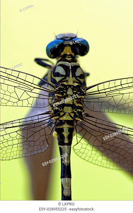 back of wild black yellow dragonfly anax imperator on a wood leaf in the bush
