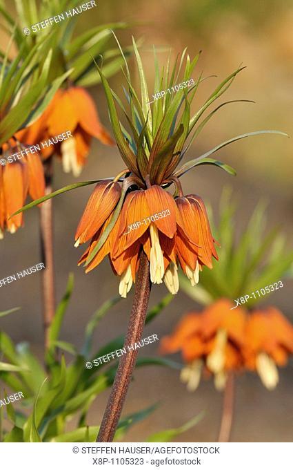 Crown imperial Fritillaria imperialis