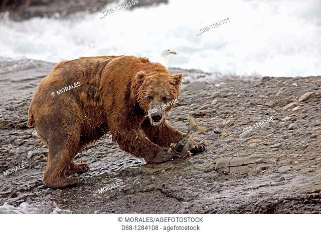 Alaska , Katmai National Park and Preserve , McNeil River Bear Viewing and Wildlife Sanctuary , falls of the Mc Neil river