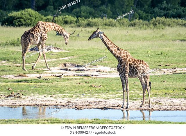 Two giraffes mill about in the wetlands of Zimbabwe. Zimbabwe