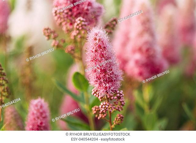 Pink Spirea Flowers On Bush At Spring. Spiraea Flowers Are Highly Valued In Decorative Gardening And Forestry Management