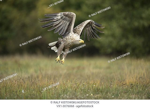 White-tailed Eagle / Sea Eagle ( Haliaeetus albicilla) takes off from a meadow in autumn, powerful adult, wildlife, Europe.