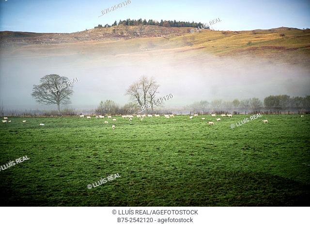 Country side view on to misty day with green grass, trees and sheeps grazing