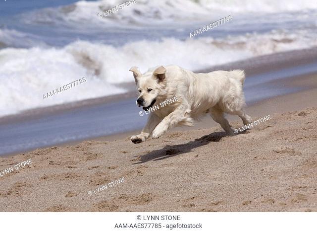 Golden Retriever male (cream, European type) running along sandy beach; Southern California, USA