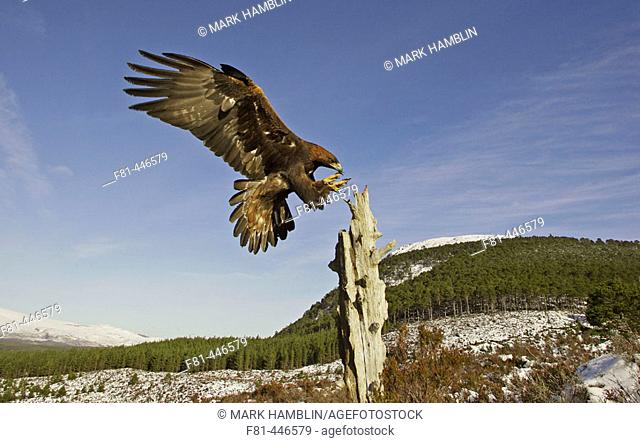 Golden Eagle (Aquila chrysaetos) adult alighting on dead pine stump on moorland. Scotland. (captive-bred bird)