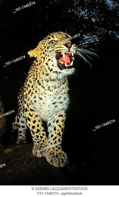 LEOPARD panthera pardus, ADULT SNARLING IN THREAT POSTURE