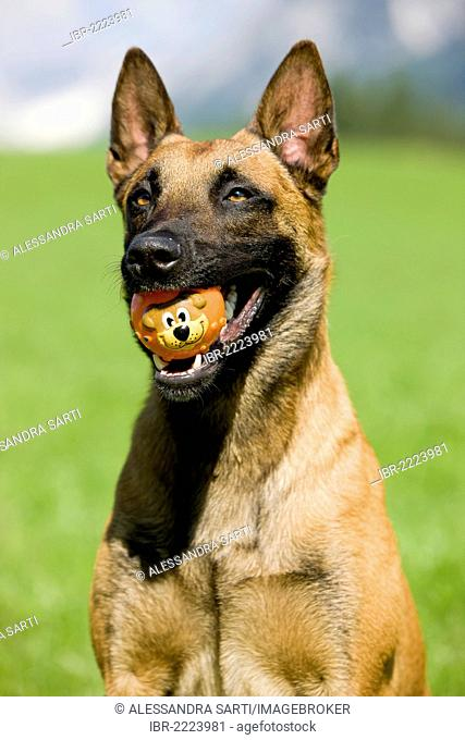 Belgian Shepherd or Malinois, portrait with a ball in its mouth, North Tyrol, Austria, Europe