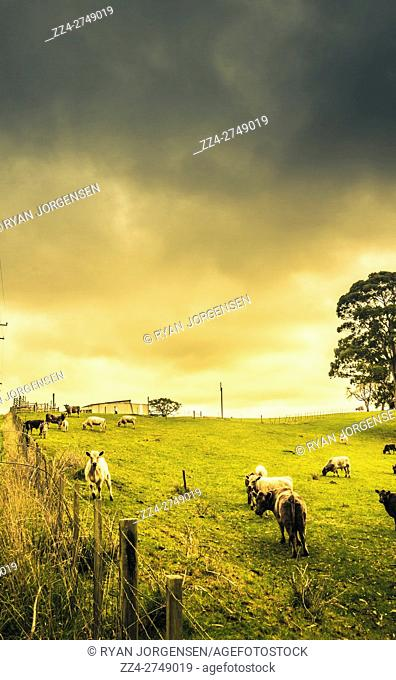 Bright landscape farmland with grazing cows copy space on cloudy sky. Located in Camena, North Western Tasmania, Australia