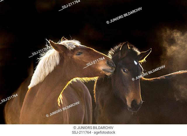 South German Coldblood. Two young mares, smooching. Germany