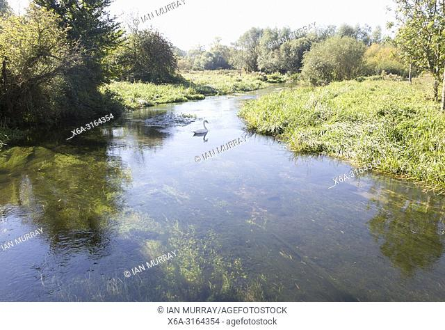 Swan swimming on the Salisbury River Avon, Fifield, near Netheravon, Wiltshire, England, UK