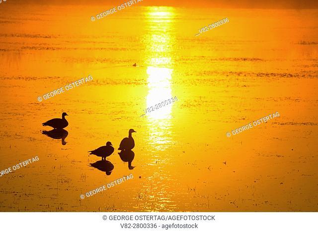 Sunrise at Eagle Marsh with Canada geese (Branta canadensis), Ankeny National Wildlife Refuge, Oregon