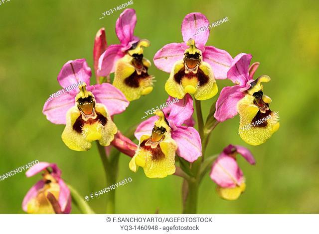 Orchid (Ophrys tenthredinifera)