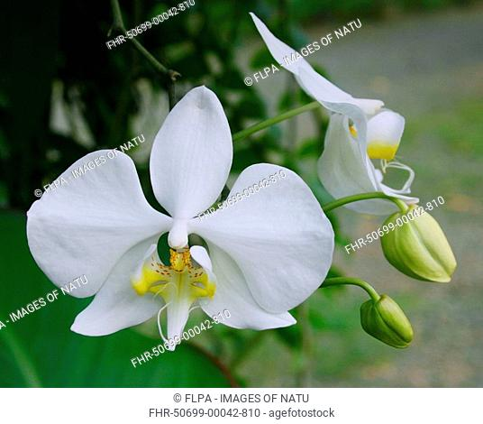 Butterfly Orchid Phalaenopsis amabilis flowering, white bloom in tropical forest, Palawan, Philippines