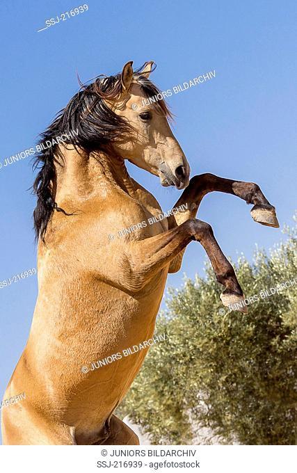 Arabian-Barb. Dun young stallion rearing in a paddock. Tunisia