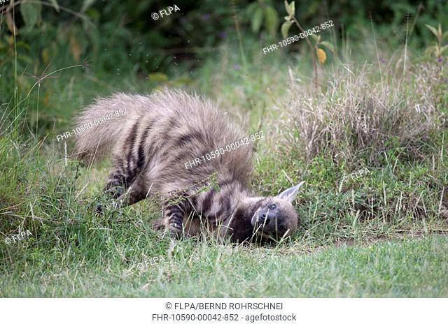 Striped Hyena Hyaena hyaena adult, rolling on ground, Lake Nakuru N P , Great Rift Valley, Kenya, August
