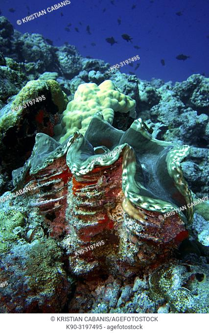 Open Large giant clam (Tridacna maima) an a colorful reef overgrown with corals, Indian Ocean, Maldives, South Asia