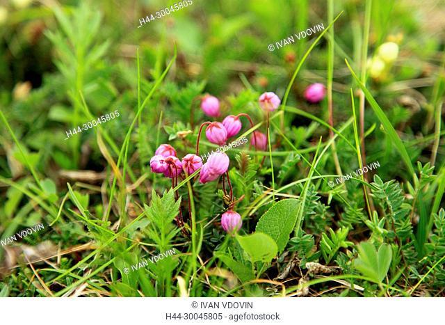 Flowers in mountain valley, Kamchatka Peninsula, Russia