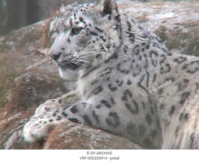 A Himalayan snow leopard lounges on a rock