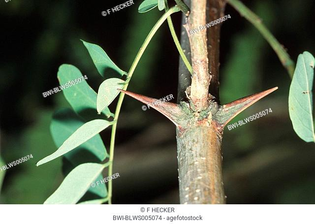 common locust, black locust, robinia Robinia pseudoacacia, twig with thorns
