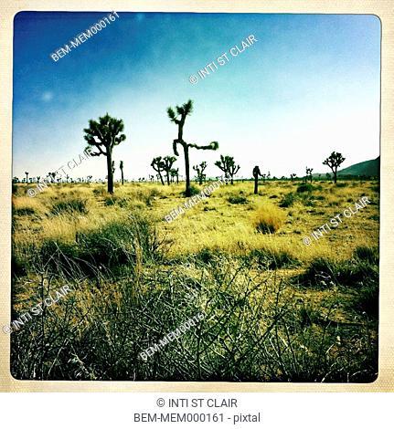 Cactus growing in desert, Twentynine Palms, California, United States