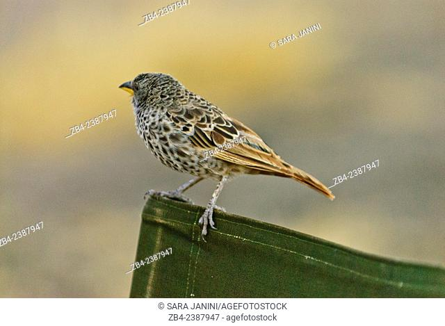 Bird on a camp chair of the Ndutu Safari Lodge, Southern Serengeti National Park, Tanzania, East Africa