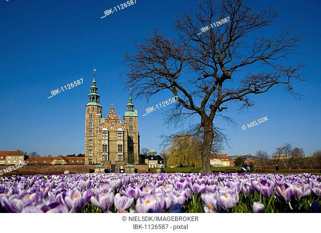 Crocus flowers in the lawn in front of Rosenborg castle, Copenhagen, Denmark