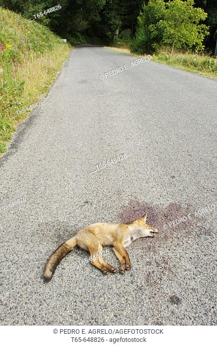Fox run over on country road