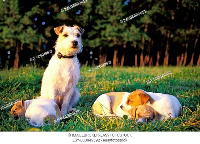 Jack-Russel-Terrier with whelps