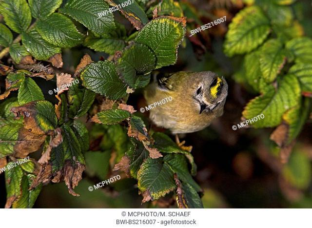 goldcrest (Regulus regulus), on dog rose, Germany, Schleswig-Holstein, Heligoland