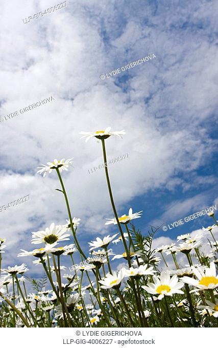 Oxeye Daisies Leucanthemum vulgare, Chrysanthemum leucanthemum, Leucanthemum leucanthemum near Slavicin, Petruvka town district, Bile Karpaty