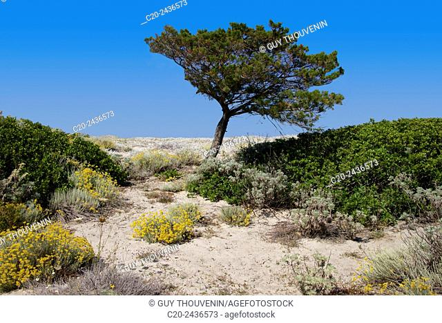 Sandy path to the beach, everlasting flowers and scrub plants and pine trees in the background, Costa degli Oleandri, near Ottiolu harbour, Sardinia, Italy