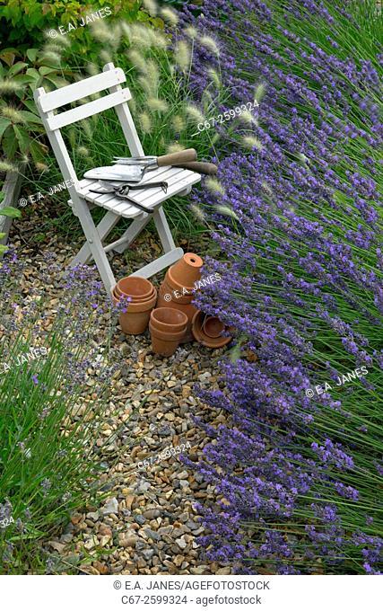 Lavender border Hidcote variety and Grass Pennisetum villosum Norfolk