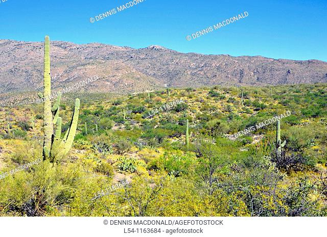 Cactus Saguaro National Park Tucson Arizona