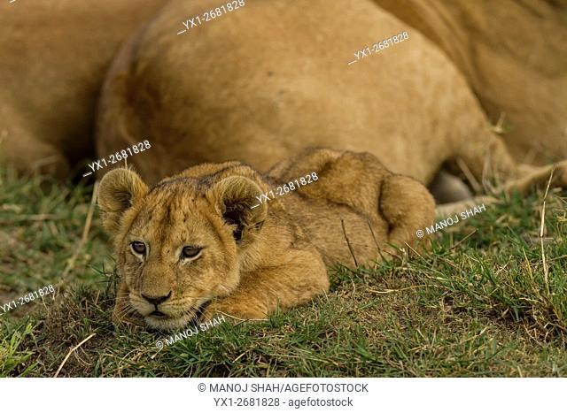 lion cub resting besides mother