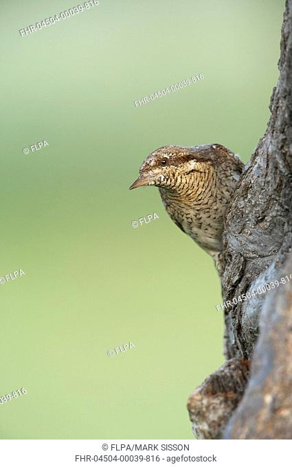 Wryneck Jynx torquilla adult, perched above nesthole in tree, Balkan N P , Bulgaria