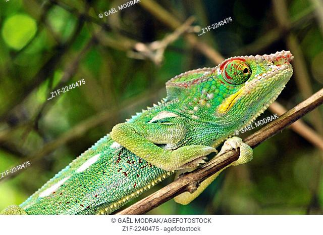 "Chameleon called """"endormi"""" meaning """"asleep"""" on Reunion island, France"