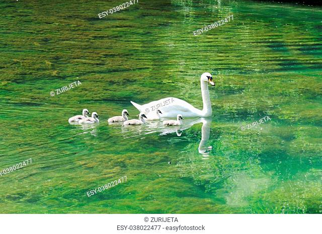 Beautiful mother swan floating on a mirror surface with cygnets